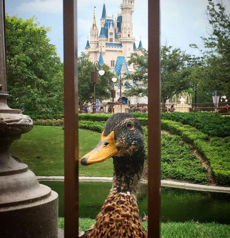 Disney Ducks at the Magic KingdomFind Mickeys
